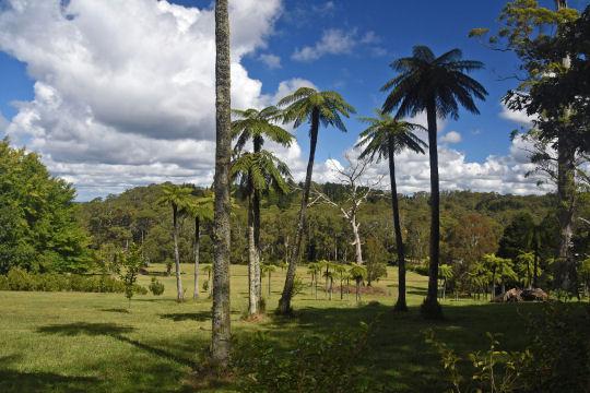 Mt Wilson palms
